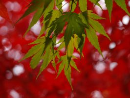 Maple 23 by botanystock