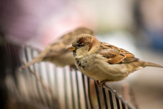 Sparrows on Fence by ArtmasterRich
