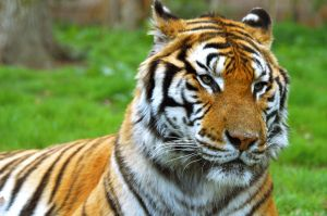 Tiger close up by HydraDominatus