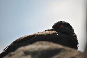 The Red Eye of the Oystercatcher. by swampliquor