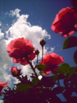 roses and blue sky by xemilyrosex