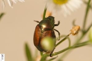 Rising Sun Chafer by The-Dude-L-Bug