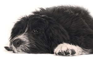 Commission - Tibetan Terrier 'Betty' by Captured-In-Pencil