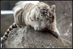 White tiger posing by AF--Photography