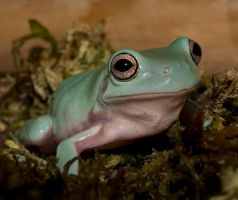 whites tree frog V5 by AngiWallace