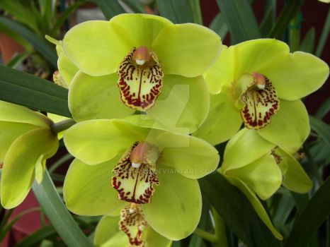 Yellow Orchid by fmorris