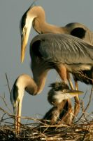 GBH Family 3 by Kippenwolf