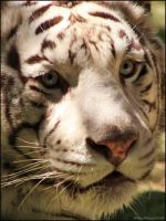 White Tiger Up Close by mydigitalmind