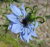 NSA New Spy Dish Disguised as Love-in-a-Mist by SrTw