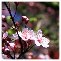 Prunus II by fatclaw