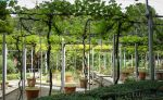 Grape vines of Jardin de la Treille by EUtouring