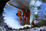 Nemo and Marlin (Clownfish) by LifeThroughALens84