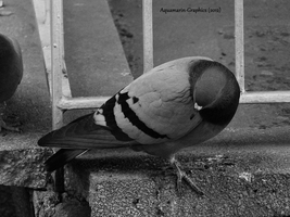 Pigeon by Aquamarin-Graphics