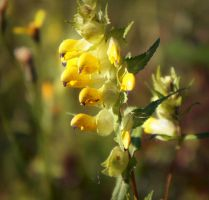 Rhinanthus by miss-gardener