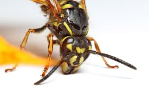 Wasp 04 by s-kmp
