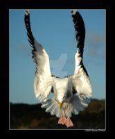 Norwegian gull 11 by grugster