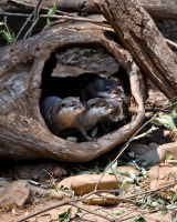 Asian Small Clawed Otters by Misty-Dawn