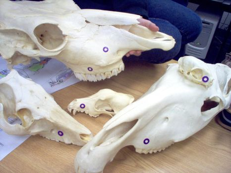 Animal skulls by WorldBoneClub