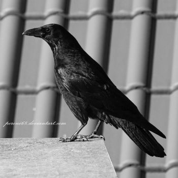 crow 17 by peroni68