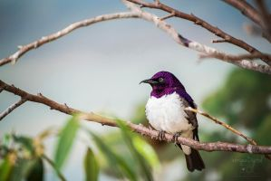 Violet-backed Starling by JessicaDobbs