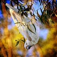 Sulphur Crested Cockatoo by Inadesign