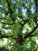 Old pear tree by cactusmumkate