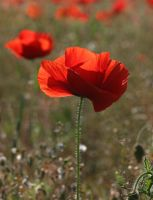 Red Corn Poppy 20D0026052 by Cristian-M