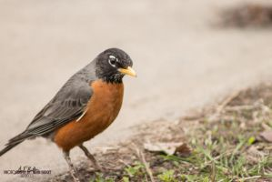 Robin1 by Zen-In-Motion