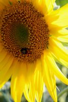 Sunflower by Geforce92