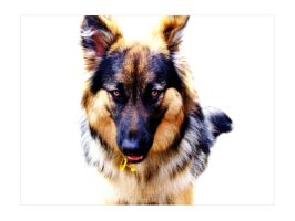 German Shepherd by kat-que