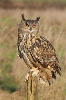 Eagle owl portrait by AngiWallace