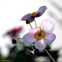 Hellebore Angelique I by hyneige