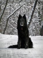 belgian shepherd 009 by yulis