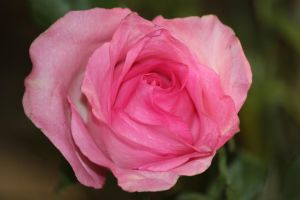 pink rose by Laur720