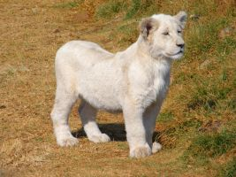 White Lion Cub IV by Jenvanw