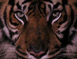 Tiger stare by Henrieke