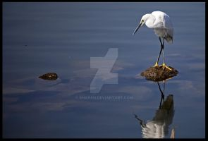Staring Egret by sharan