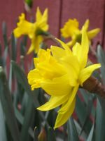 Daffs at work by crazygardener