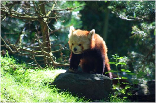 The real Red Panda by loewenhoehle