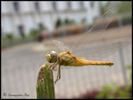 ~ DragonFly ~ by soumya-digi