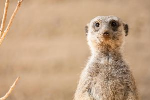 portrait of a meerkat by Eyecontact13