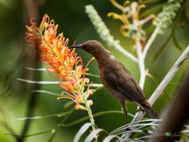 Honeyeater by Questavia