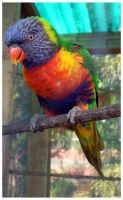 Stock : Lorikeet by Deaths-stock
