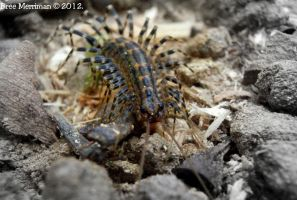 Centipede II by BreeSpawn