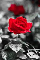 Red rose by JaaNiii