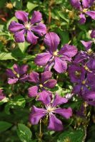 clematis by marob0501