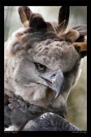 Harpy Eagle by rgphoto777