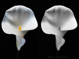 Calla lilies before spring. by myxiedoo