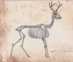 skeleton anatomy: deer by omgshira