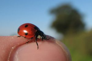 Ladybird or Ladybug by Its-Only-Stock